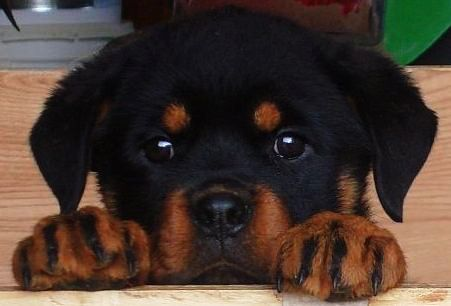 Precious From Your Friends At Phoenix Rottweiler Rottweiler