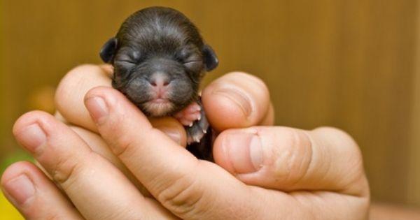 Rottweiler Puppy Newborn Rottweiler Puppies Puppy Photos Puppies