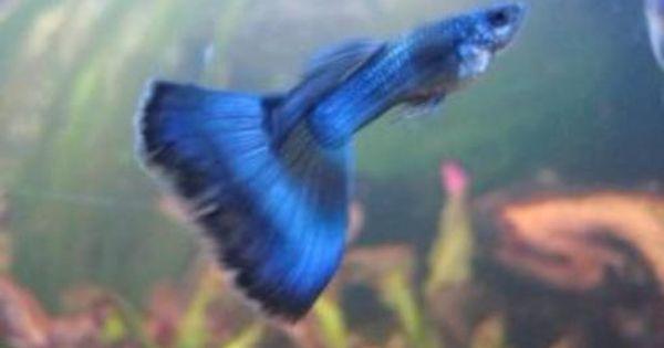 Guppys Schleierguppy Zuchtform Moskau Blau Triangel Ab 1 80 In Thuringen Gotha Ebay Kleinanzeigen Triangel Ebay Kleinanzeigen Ebay