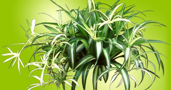 avoid giving busy moms difficult poisonous houseplants