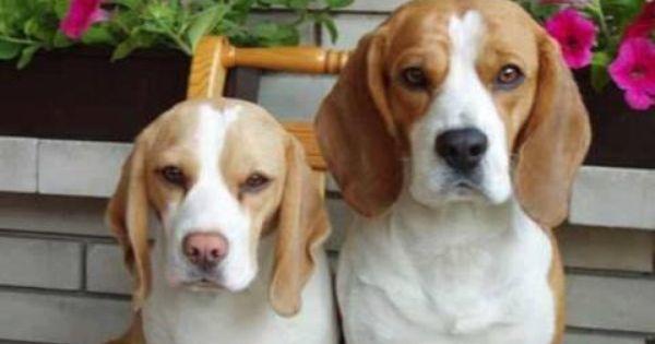 Timeline Photos Beagle Freedom Project Facebook Beagle Dog