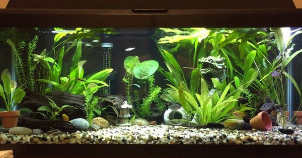 20 Gallon Long Tank Asian South American Theme Currently Stocked With Five Black Phantom Tetras Five Emerald Freshwater Aquarium Aquascape American Theme