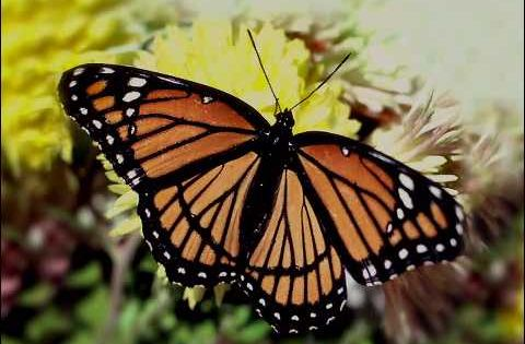 Red Spotted Purple besides Baltimore Checkerspot Butterfly On Daisy together with Wheel Of Life additionally Carolina Wren further Woodburn Bee Chrisben t. on life cycles in nature
