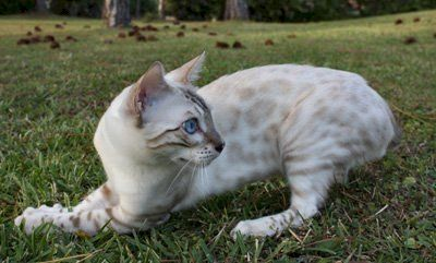 Zawieco Bengal Cat And Kitten Breeders In Florida Bengal Cat