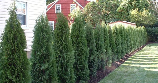 A Hedge Of Thuja Has Been Planted Between These Homes