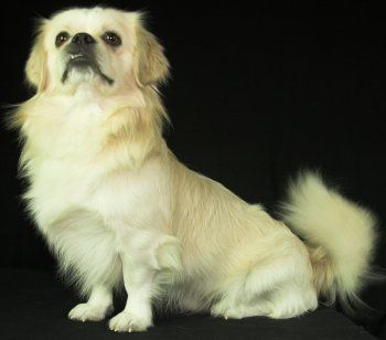 Tibetan Spaniels What S Good About Em What S Bad About Em Tibetan Spaniel Spaniel Dog Dog Breeds