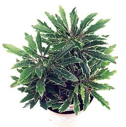 Variegated Galaxy False Aralia Plants Unusual Plants Unique Plants