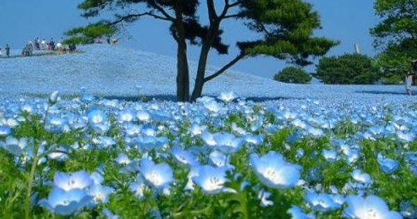 Blue fields, Hitachi Seaside Park, Japan Nemophila, Baby Blue Eyes