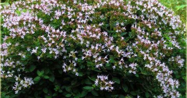 Oregano Diabolo Lebiodka Pospolita Origanum Vulgare Diabolo Oregano Herbs Backyard Landscaping