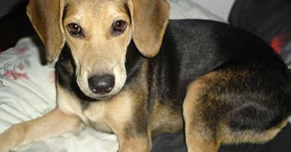 C U T E German Shepherd Lab Mix Beagle Shepherd Mix German
