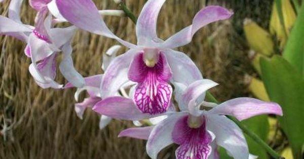 Dendrobium Caesar Orchids Orchid Online Sale Orchids Oncidium Phalaenopsis