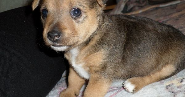 Puppy S Gorgeous Jack Russell X Cairn Terrier Cambridge
