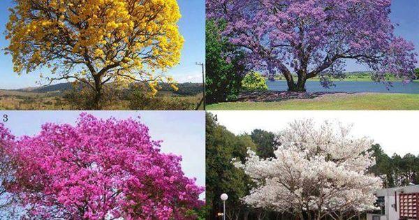 Ip amarelo jacarand ip rosa ip branco plantas for Planta ornamental jacaranda