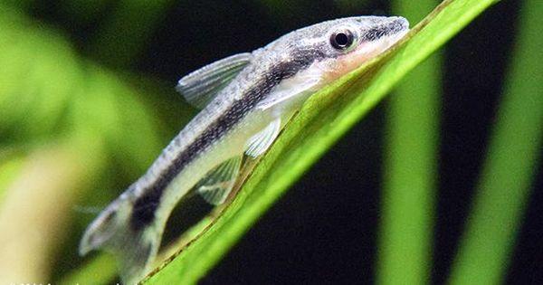 Otocinclus Catfish In A Freshwater Aquarium Aquarium Fish Freshwater Aquarium Aquarium