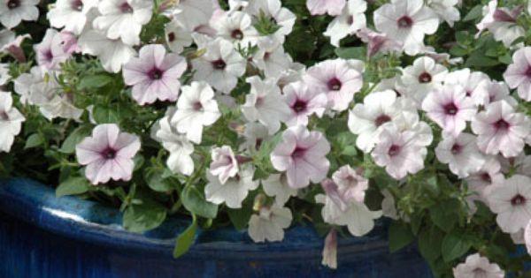 Petunia Integrifolia Organic Lifecycle Annual Tender Perennial Hardiness Half Hardy Annual Zone 8 9 10 Color Pin Petunias Fragrant Flowers Foliage Plants