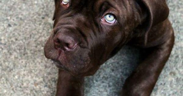 Mastiff adorable---those eyes!! Wow   Doggy Love ...