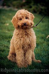 Ridgeline Australian Labradoodle Apricot Good Girl Labradoodle Goldendoodle Puppy Labradoodle Puppy