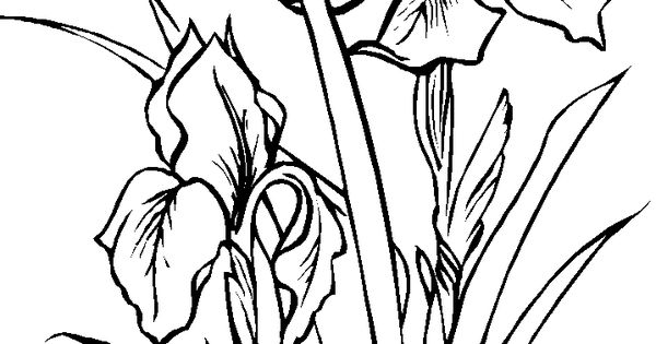 Iris coloring pages and printable draw flowers for Iris flower coloring page