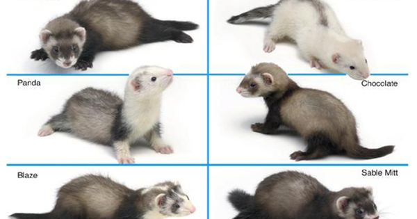an overview of the different kinds of ferrets in animal kingdom The black-footed ferret is an endangered species that was once  this ferret's diet , it also occasionally may eat other animals, such as mice and.