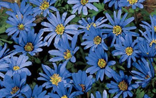 Anemone Blanda Blue Star Bulb Flowers Anemone Fall Plants