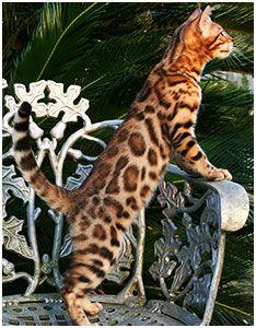 Digitale Katzenfibel Mit Bildern Katzen Rassen Katzenrassen
