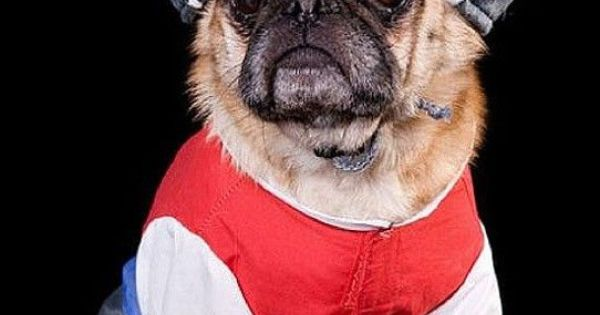 Funny Pugs Masters Of Disguise Photography Pinterest
