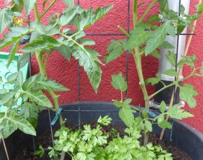 tomaten pflanzen im topf und auf dem balkon garten und pflanzen pinterest tomaten pflanzen. Black Bedroom Furniture Sets. Home Design Ideas