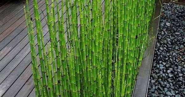 How To Grow Horsetail Reed Modern Patio Landscape Design