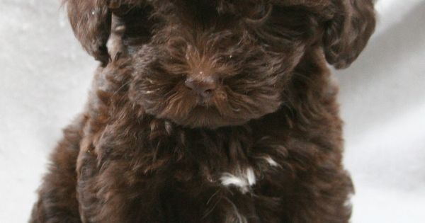 I want a schnoodle!