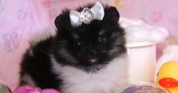 Pin By Personal On Cute In 2020 Pomeranian Puppy For Sale Pomeranian For Sale Pomeranian Puppy Teacup