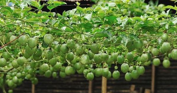 Top Tips For Growing Passionfruit Growing Passion Fruit Passion Fruit Plant Fruit Garden