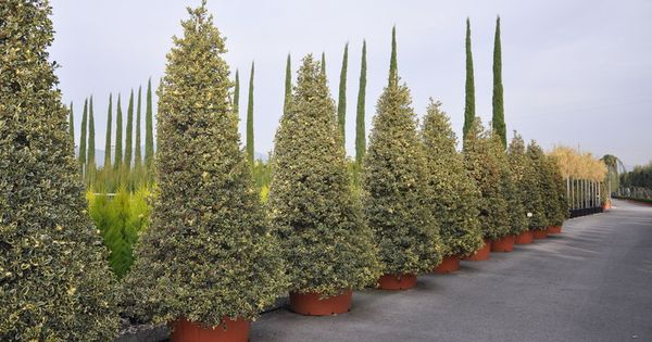 ilex aquifolium argentea marginata pinterest. Black Bedroom Furniture Sets. Home Design Ideas