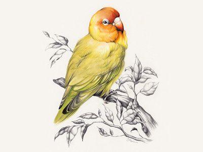 Lovebird Bird Pencil Drawing Bird Drawings Cartoon Birds