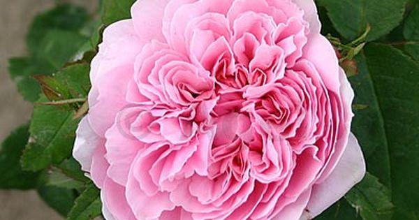 Jacques Cartier Jacques Cartier Bepflanzung Und Rosen