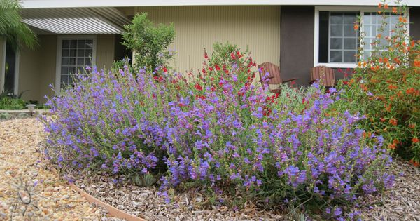 Ca native front yard california native gardens for Front yard plants