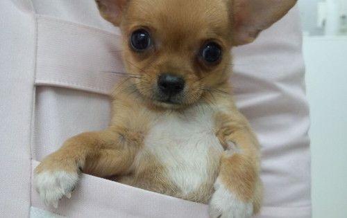chihuahua in a pocket Chihuahua Pinterest