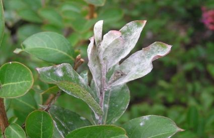 Rose Bush Diseases How To Prevent And Treat Rose Disease