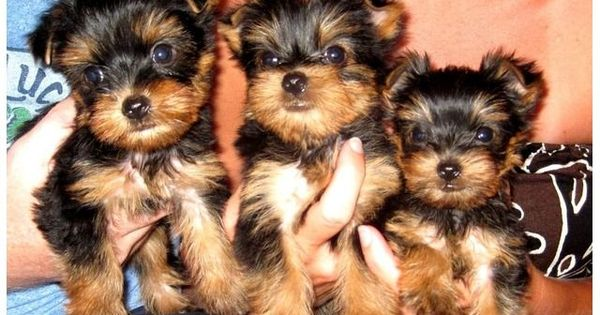 Yorkie Puppies Ready For Adoption Animals Birmingham Alabama Announcement 71660search Yorkiepuppyforsal Yorkie Puppy Yorkie Breeders Yorkshire Terrier