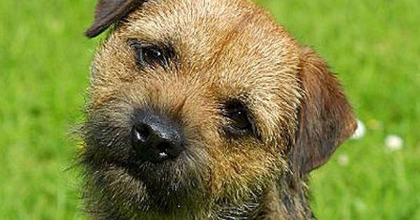 The Border Terrier Is A Small Medium Boned Sturdy Dog Origin