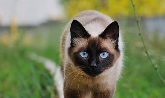 Siamese Cat on a Train Track