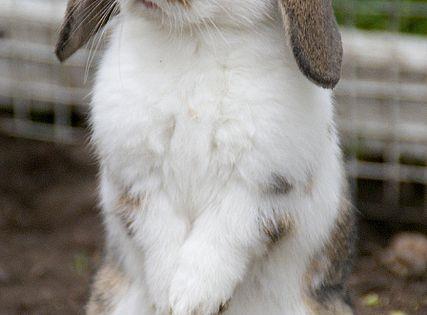 Baby Mini Lop Eared Bunny