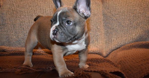 French Bulldog Puppy For Sale In Sacramento Ca Adn 23714 On
