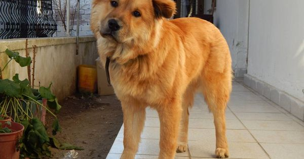 Yellow Labrador Chow Mix Dogs Breeds And Everything About Lab Chow Mix From Shrewsbury Needs Home Labrador Chow Chow Mix In 2020 Dog Breeds Yellow Labrador Labrador