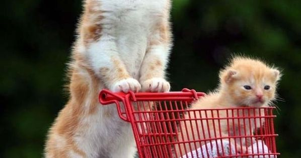 Cat pushing a kitty in a shopping cart
