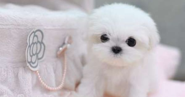 Breakfast At Shawna S Teacup Puppies Cute Baby Animals