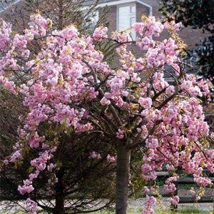 Flowering Cherries Palmers Garden Centre Flowering Cherry Tree Palmers Garden Centre Garden Center