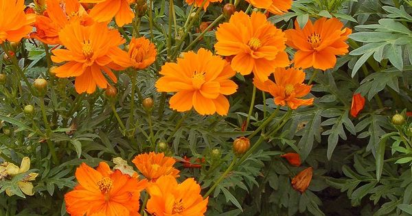 This Floriferous Fuss Free All America Selections Winner Smothers Itself In Bright 2 Orange Blosso Shade Garden Plants Shade Loving Perennials Shade Flowers