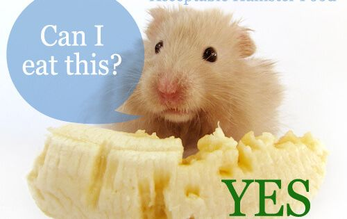 Hamster Food Treats Diet What Types How Much Often Hamster Food Hamster Care Hamster