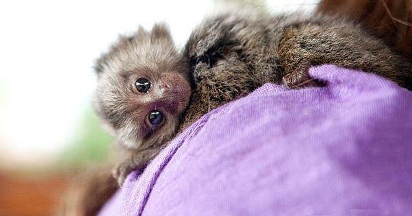 Baby Finger Monkey Finger Baby Marmoset Monkeys For Adoption For Sale In Dubai Cute Baby Animals Cute Little Animals Marmoset Monkey