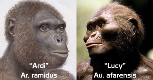 lucy and ardi beginning of human Prehistory (origins & stone age)  prehistory in the news before lucy came ardi,  lucy's legacy is a broad introduction to human evolution and discusses why.